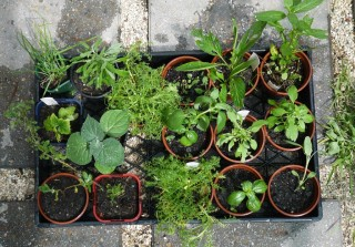"Example of herbs & seedlings in 4"" Pots"