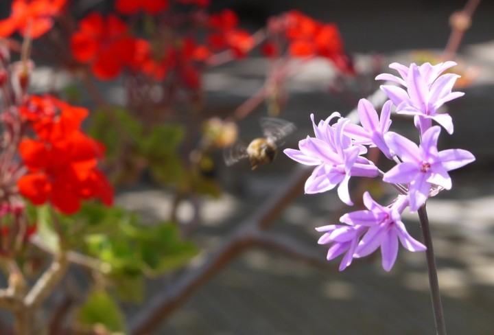 11_bee_on_flowers