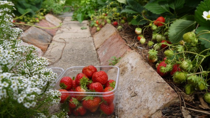14_strawberries