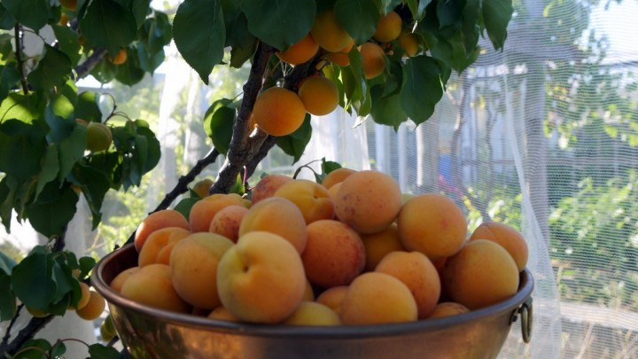 15_apricotharvest