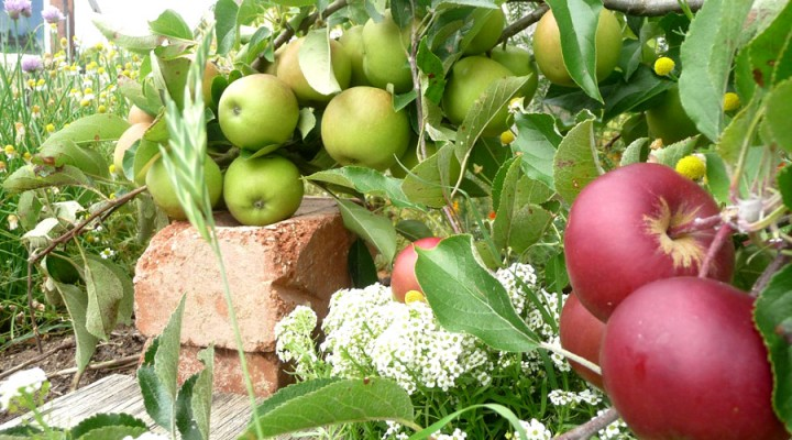 2011_apples