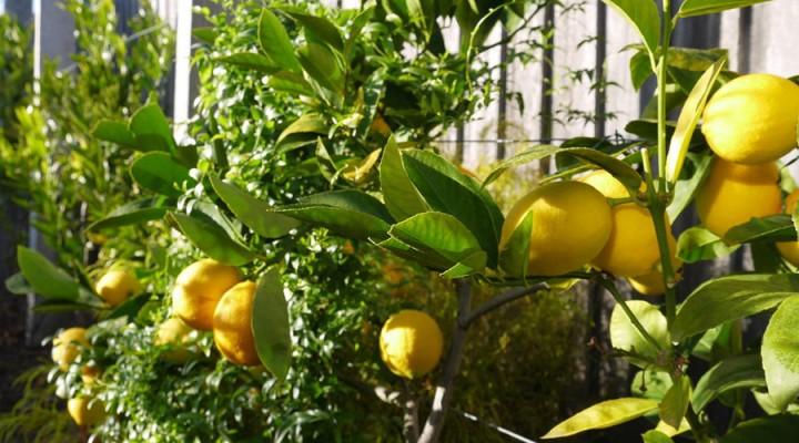 2013_lemons